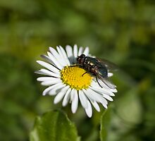 Fly on daisy by Sue Robinson