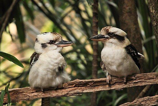 Kookaburras by Sea-Change