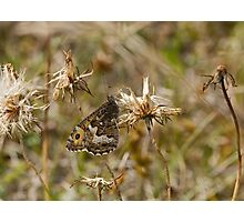 Grayling butterfly Photographic Print