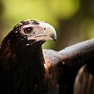 Wedge-Tailed Eagle by Sea-Change