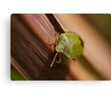 Green Shield Bug on leaf Canvas Print