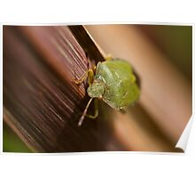 Green Shield Bug on leaf Poster