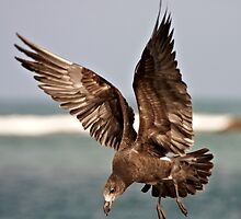 Come fly with me ~ Immature Pacific Gull by Robert Elliott