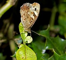Speckled Wood butterfly wings closed by Sue Robinson