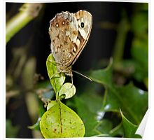 Speckled Wood butterfly wings closed Poster