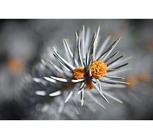Baby Pine Cones Photographic Print