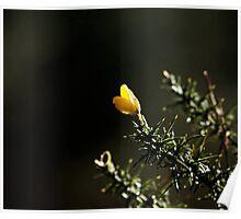 Gorse Flower Poster