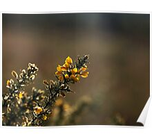Gorse Flowers Poster