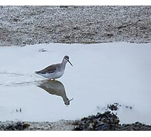 Spotted Redshank Photographic Print