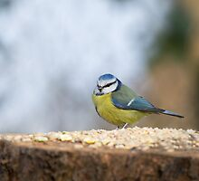 Blue Tit on seed table by Sue Robinson