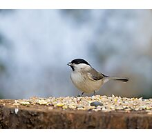 Marsh Tit with seed Photographic Print