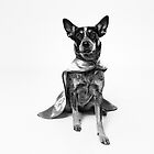 Super Sheila:  Australian Cattle Dog Hero by Bobby Acree