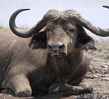 Sad but Natural, African Buffalo, Kenya by Carole-Anne
