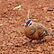Spinifex Pigeon by Robert Elliott