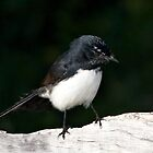 Willie Wagtail by Robert Elliott