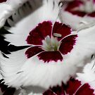 Dianthus macro by mooksool
