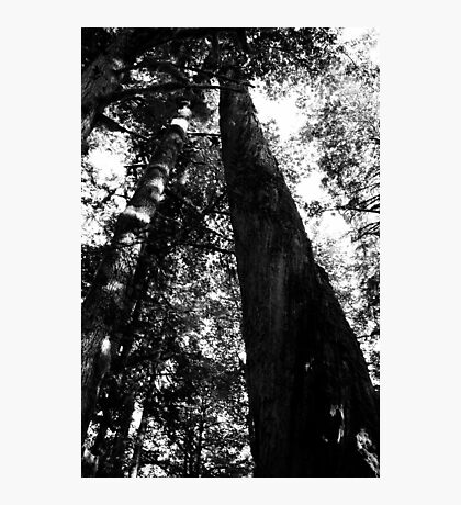 Mt. Baker National Forest, Baker River Trail, Trees Photographic Print