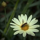 Hover Fly on pale flower Leith Park Victoria 201510300525 by Fred Mitchell