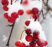 Snow Upon the Crab Apples by lorilee