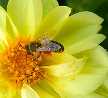 A bee at work in my own backyard! by 97AriaMoon