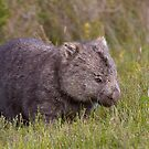 Common Wombat by Will Hore-Lacy