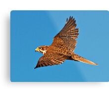 Prairie Falcon Metal Print
