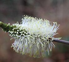 Wildflower of a Bush Grass by aussiebushstick