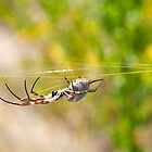 Golden Orb Spider 2 Cervantes Western Australia by Leonie Mac Lean
