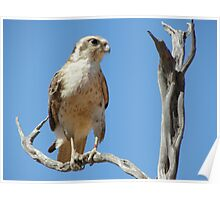 Brown Falcon perched on a branch Poster