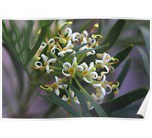 Stenocarpus salignus  Poster