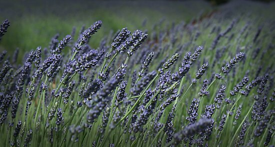 Lavender Fields by Susan Segal