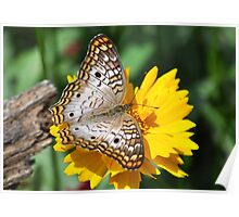 White Peacock Butterfly On A Yellow Flower Poster
