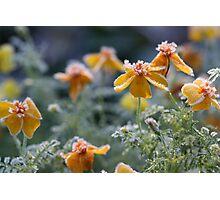 Marigolds Photographic Print
