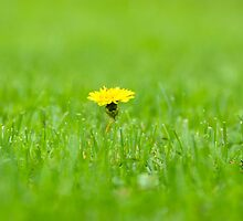 Lone Yellow Flower by ginofranco