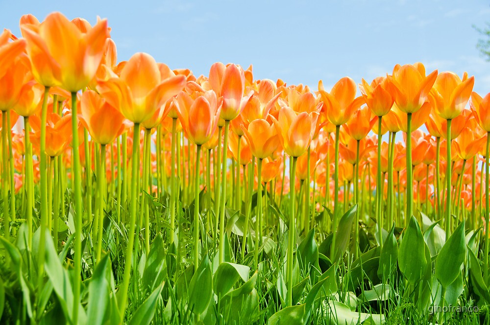 The Family of Orange Tulips by ginofranco