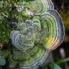 Mossy Maze Polypore (Cerrena unicolor) covered with frost by mfortune