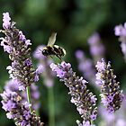 Flying between the lavender  by Phil Howcroft