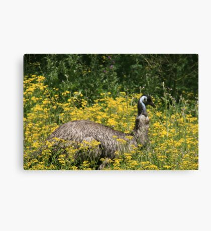 Emu at Tower Hill,Victoria. Canvas Print