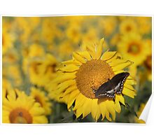 Swallowtail on a Sunflower Poster