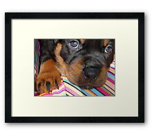 Young Female Rottweiler Making Eye Contact Framed Print