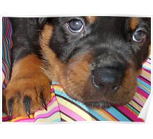 Young Female Rottweiler Making Eye Contact Poster