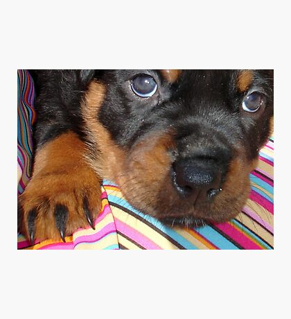 Young Female Rottweiler Making Eye Contact Photographic Print