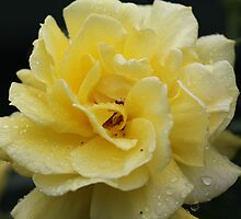 A rain soaked Gold Bunny Rose in full bloom by BBCsImagery