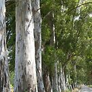 Old Mugla - Marmaris Road Eucalyptus Akcapinar by taiche