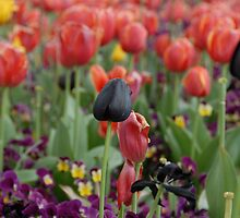 Black Tulip Among the Red by brodien