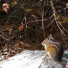 Least Chipmunk by Patty Boyte
