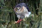 Hawk Dining Alfresco by Gene Walls