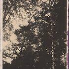 Birch Canopy by billwolff