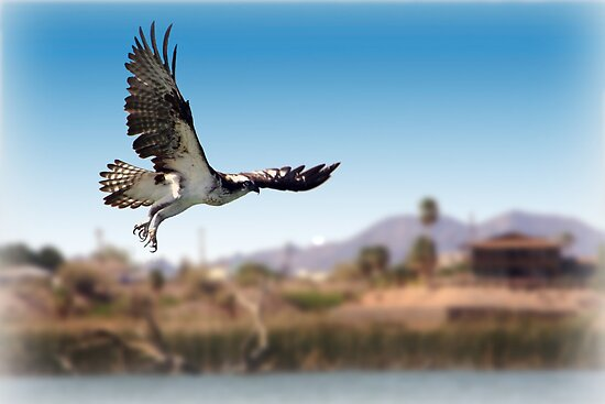 Osprey or Fish Eagle by CarolM