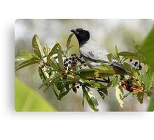 Black-face Cuckoo-Shrike Canvas Print